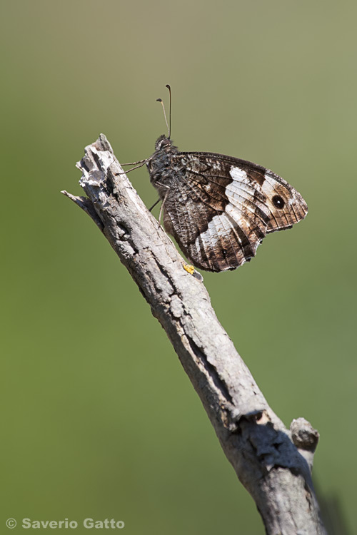 Woodland Grayling