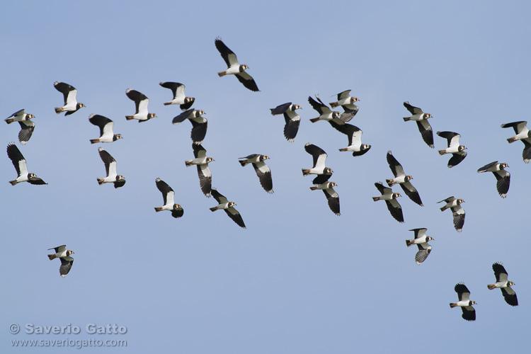 Flock of lapwings in flight