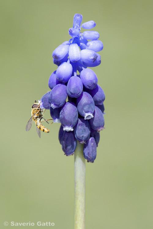 Muscari azzurro e Sirphus ribesii