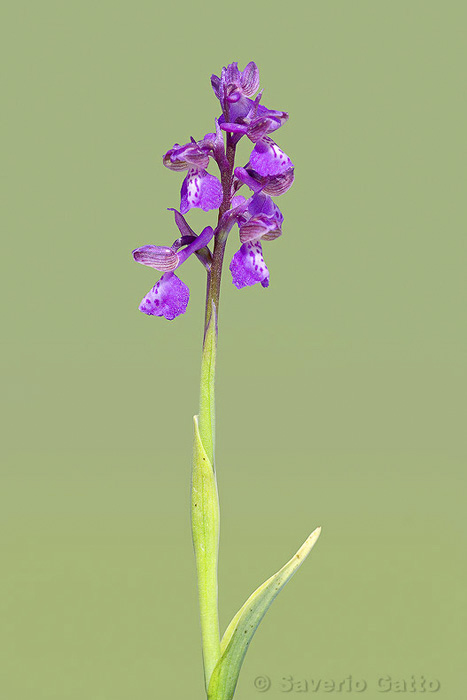 Orchide minore