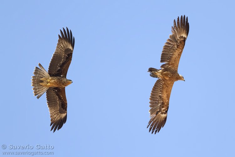 Black Kite and Lesser Spotted Eagle