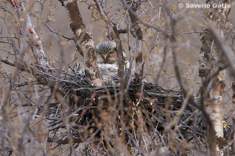 Hawk Owl nesting abreast of road