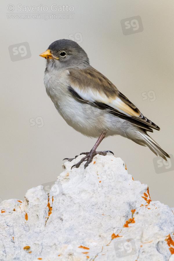 Snowfinch