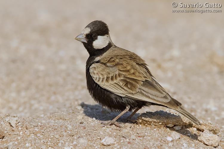 Black-crowned Finch-Lark