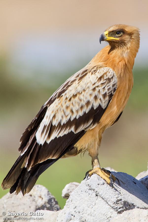 Aquila anatraia maggiore var. fulvescens