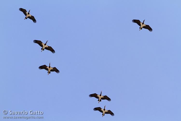 Abdim's Storks in flight