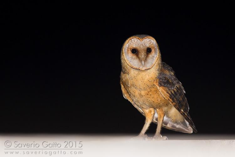 Cape Verde Barn Owl