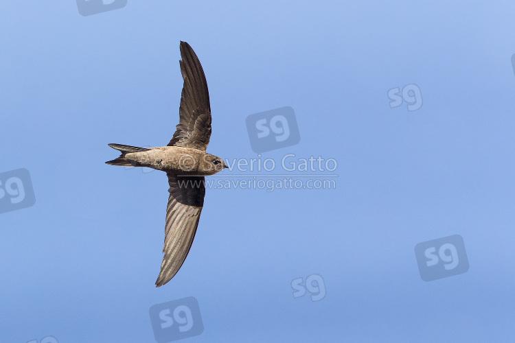 Cape Verde Swift in flight