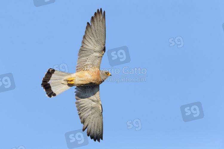 Lesser Kestrel in flight