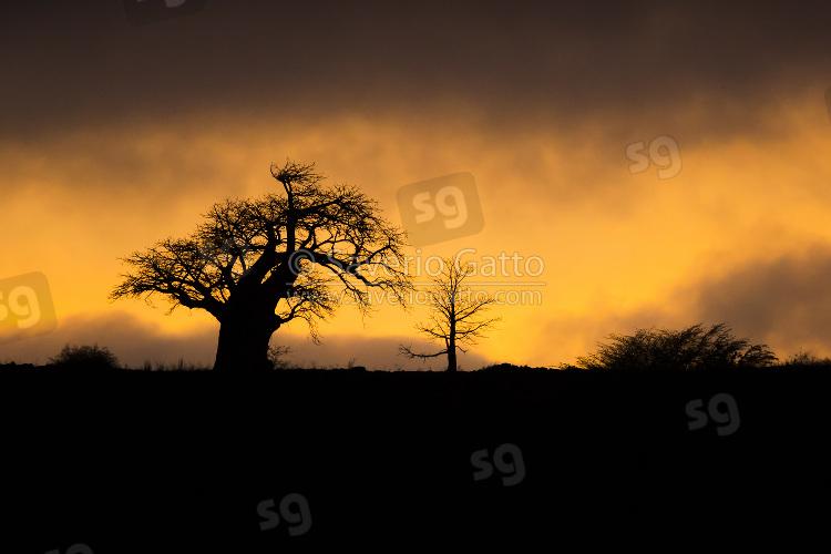 Baobab tree at sunrise