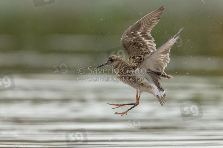 Ruff in flight