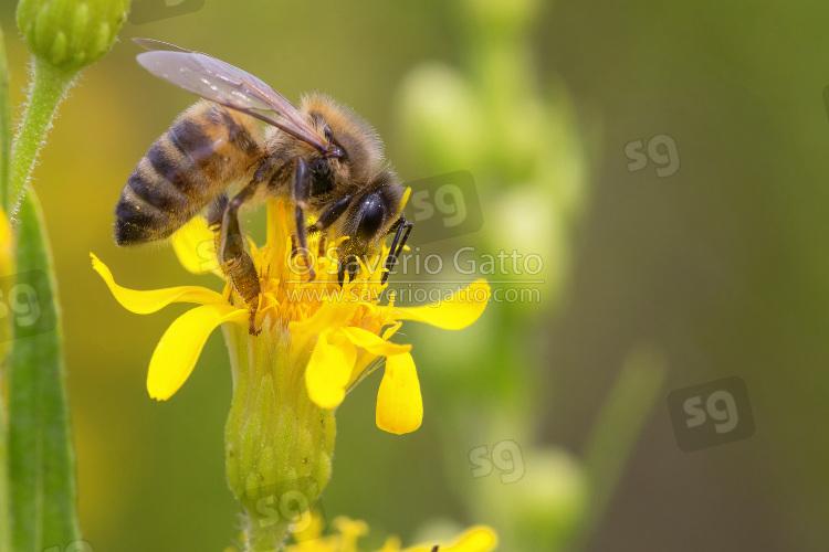 European Homey Bee