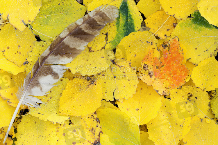 Tawny Owl feather on yellow leaves