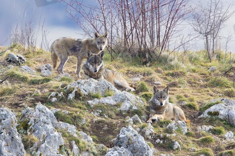 Branco di lupi appenninici