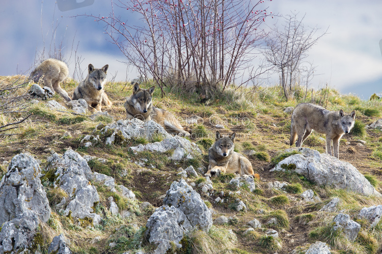 Italian Wolves