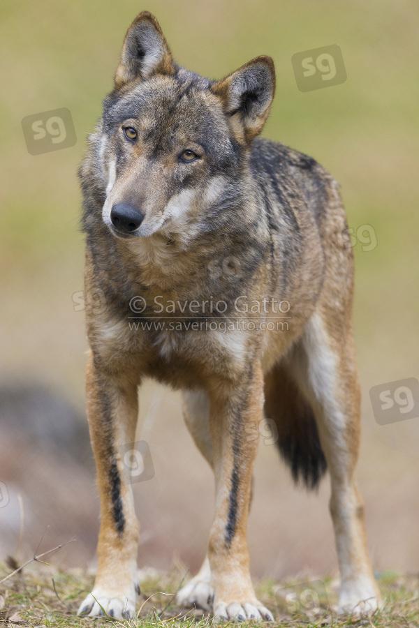 Italian Wolf
