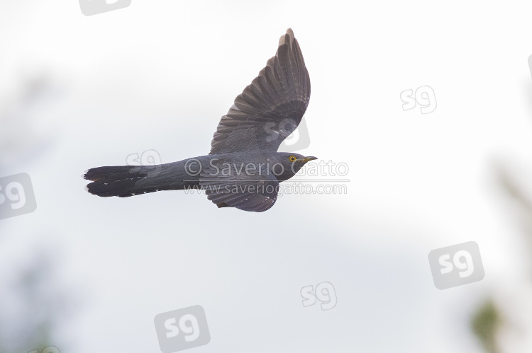 Common Cuckoo in flight
