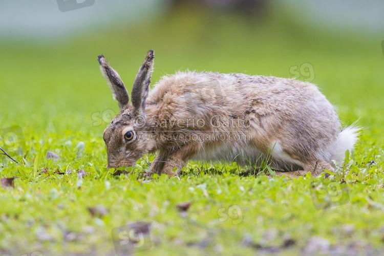 Lepre comune, adulto che si nutre di erba