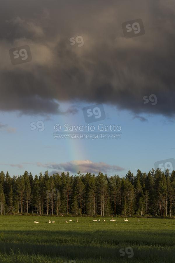 Paesaggio con Cigni selvatici, paesaggio con cigni selvatici ed arcobaleno
