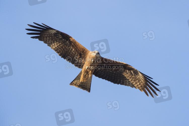 Nibbio bruno, adulto in volo