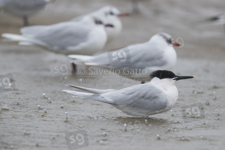 Sandwich Tern, adult resting in shallow water together with mediterranean gulls