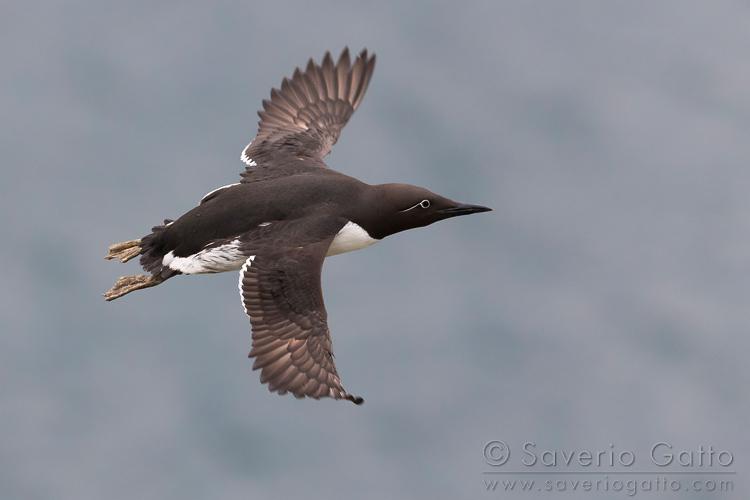 Uria, adulto in volo