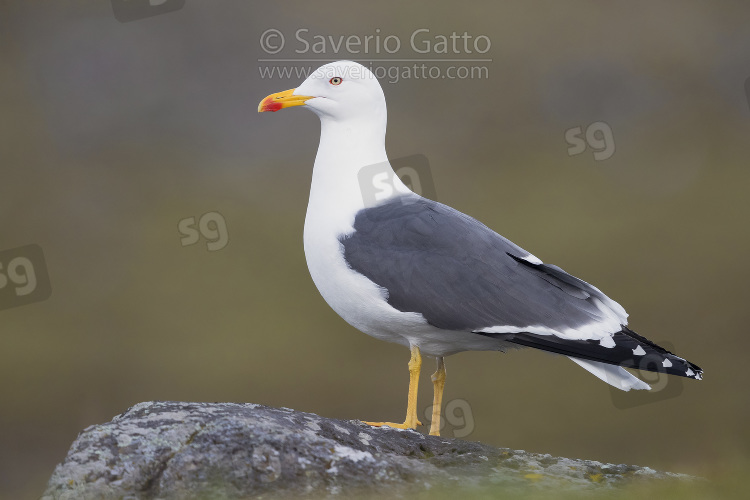 Lesser Black-backed Gull, adult standing on a rock