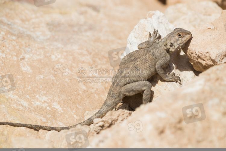 Agama del deserto