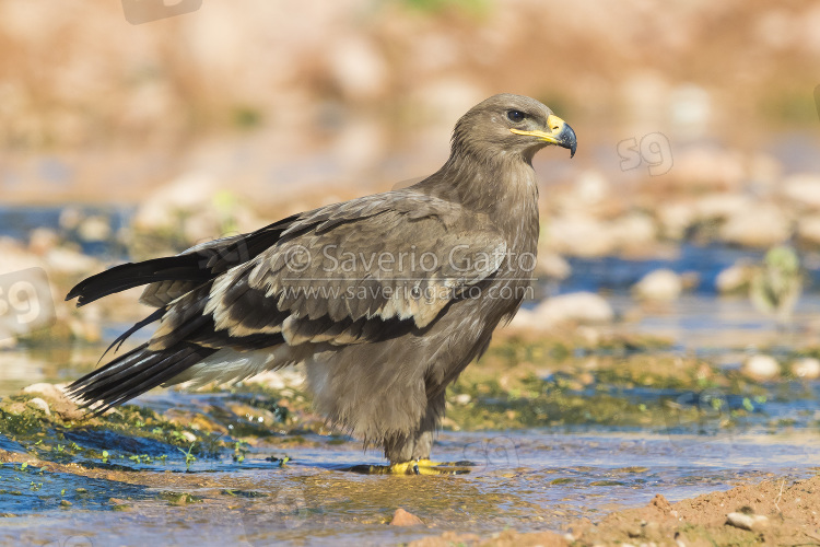 Steppe Eagle, juvenile standing on a creek bed