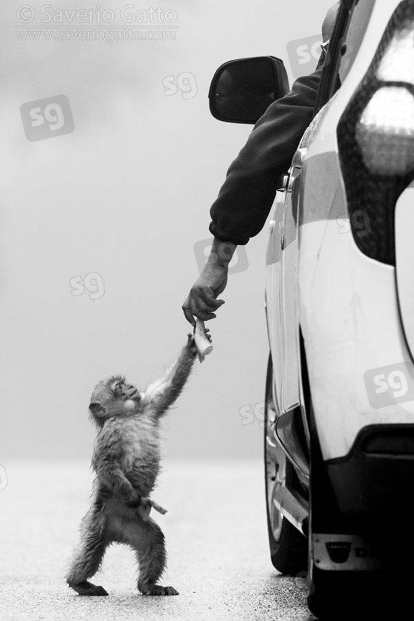 Bertuccia, cucciolo che riceve cibo da un uomo