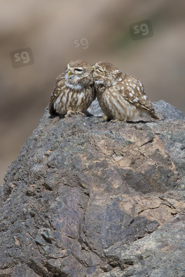 Civetta, coppia in mutual preening