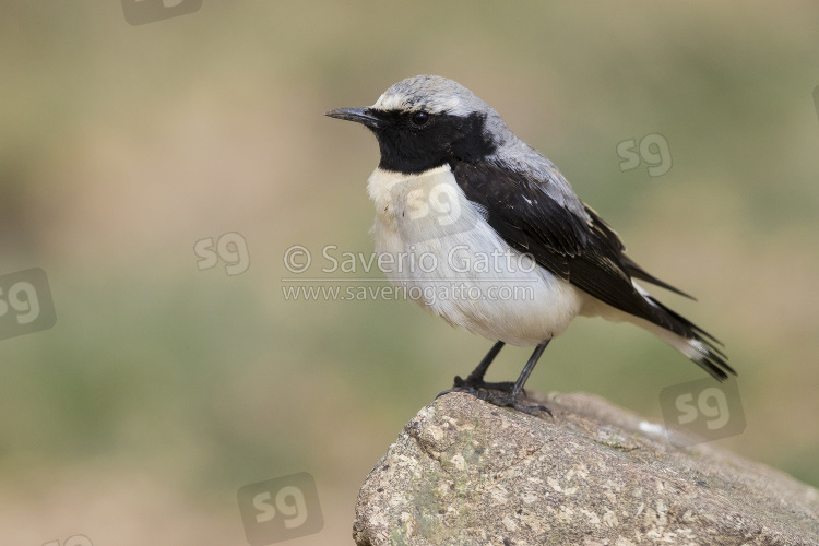 Seebohm's Wheatear, side view of adult male standing on a rock in morocco