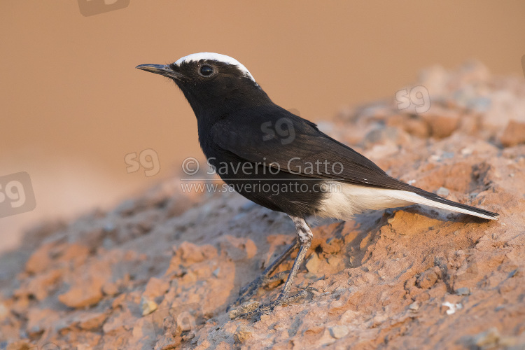 White-crowned Wheatear, side view of an adult standing on a rock in morocco