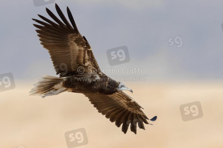 Egyptian Vulture, juvenile in flight seen from below