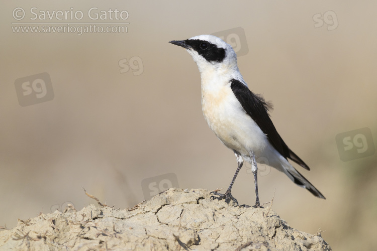 Eastern Black-eared Wheatear, side view of an adult male standing on the ground in italy