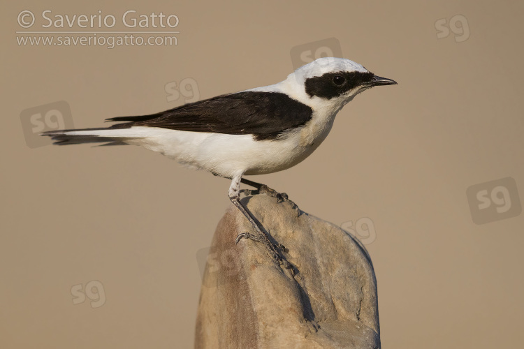 Eastern Black-eared Wheatear, side view of an adult male standing on a stone in italy