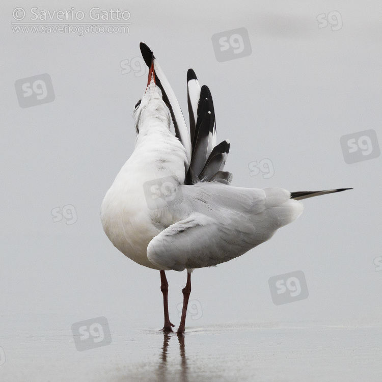 Black-headed Gull, adult preening on the shore