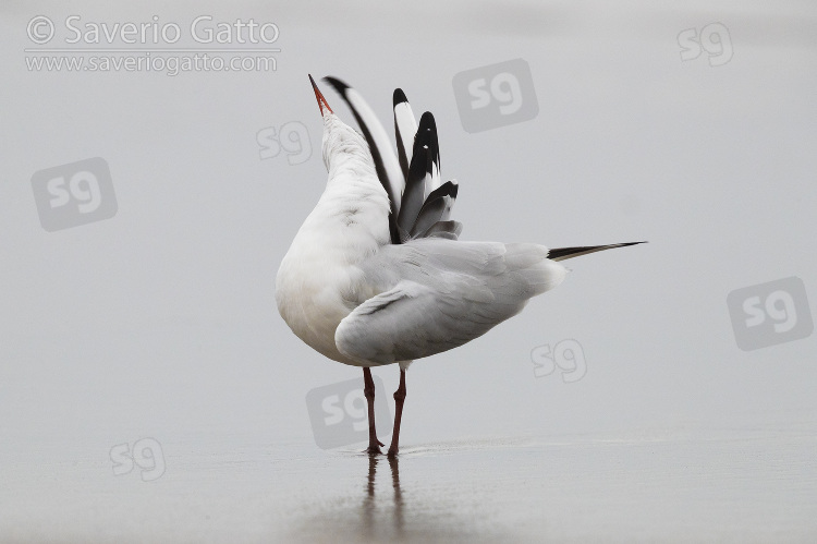 Black-headed Gull, adult preening on the shore