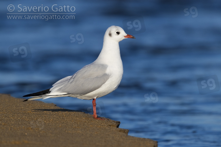 Black-headed Gull, side view of an adult in winter plumage standing on the shore