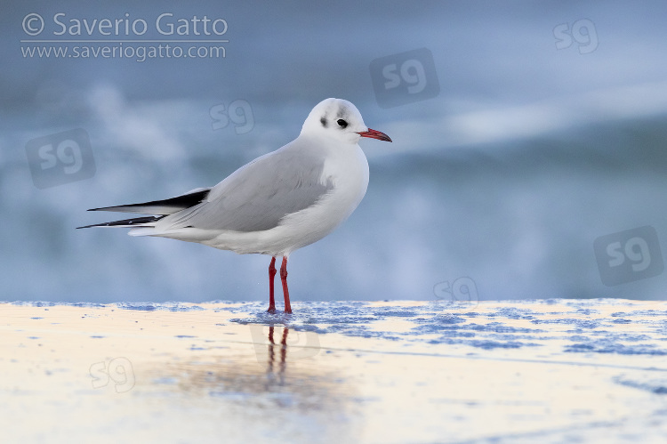 Black-headed Gull, side view of adult in winter plumage standing on the shore