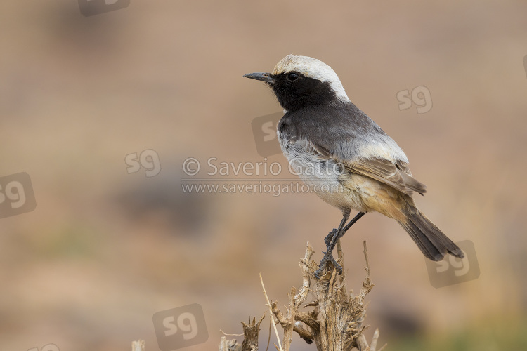 Red-rumped Wheatear, adult male standing on a bush in morocco