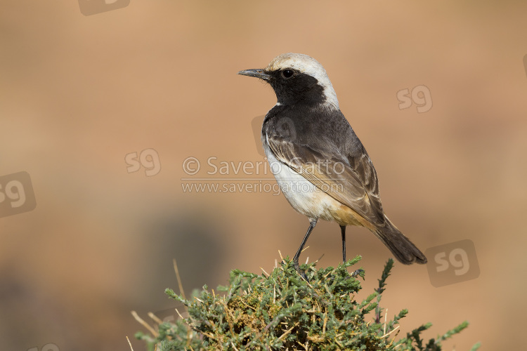Red-rumped Wheatear, back view of an adult male standing on a bush in morocco