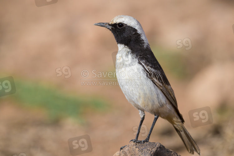 Red-rumped Wheatear, adult male standing on a stone in morocco