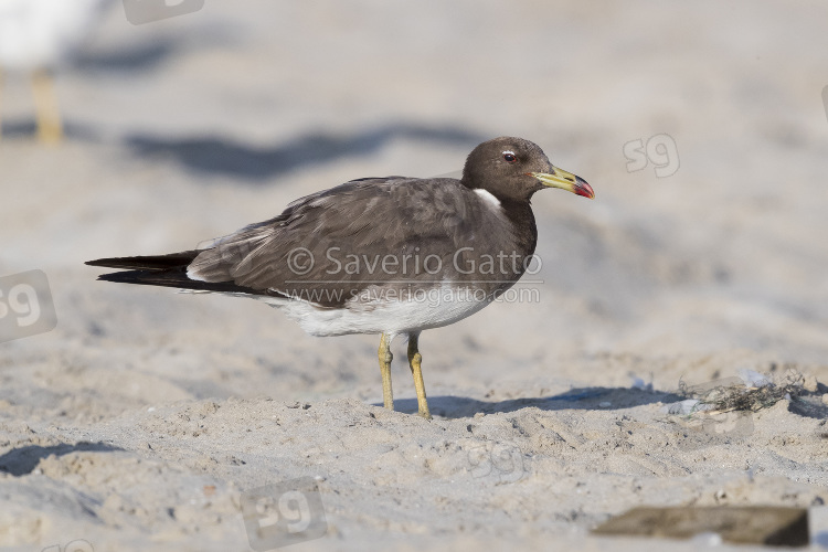 Sooty Gull, adult in winter plumage standing on a beach in oman