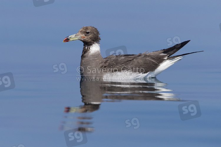 Sooty Gull, adult in winter plumage swimming in the sea in oman