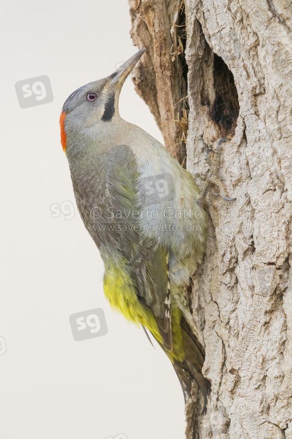 Picchio di Levaillant, femmina adulta all'entrata di un vecchio nido