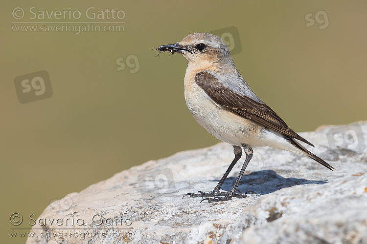 Northern Wheatear, side view of an adult female carrying a prey in its bill