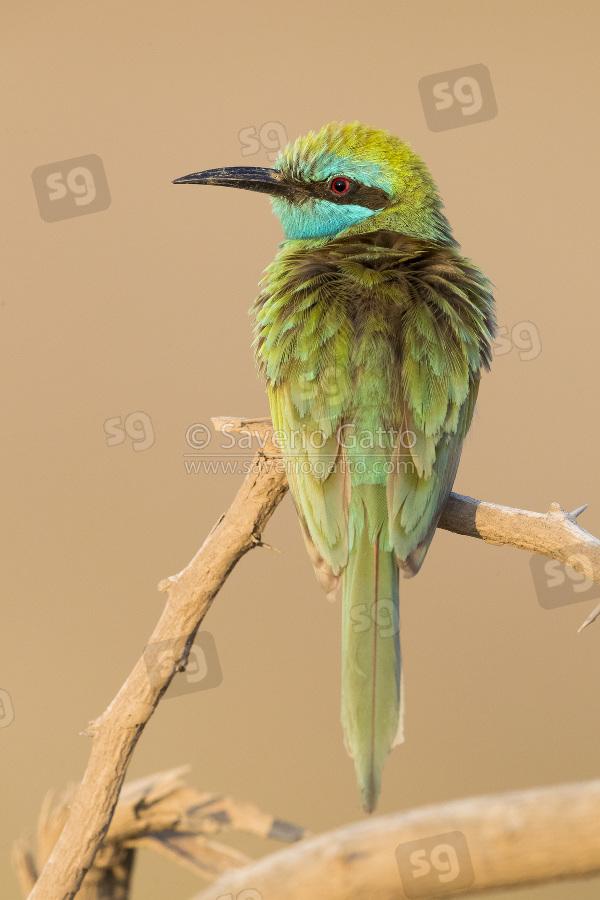 Gruccione verde piccolo