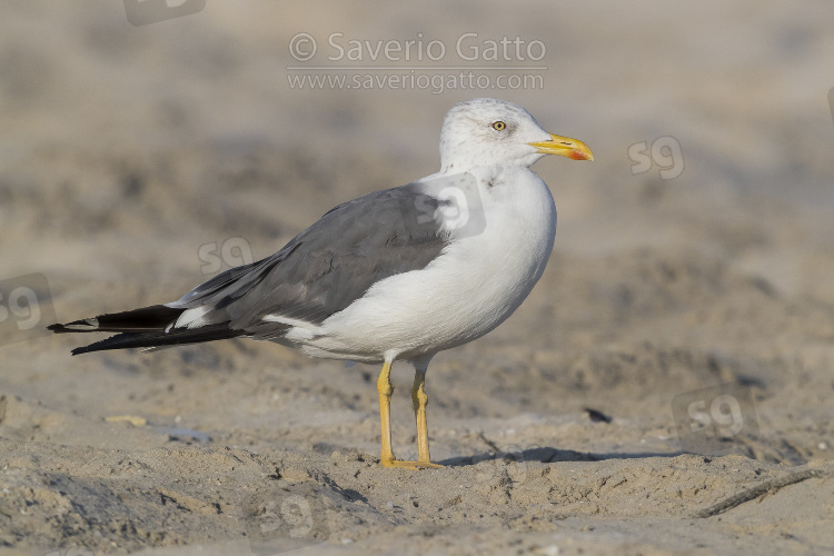 Heuglin's Gull, side view of an adult in winer plumage standing on the sand