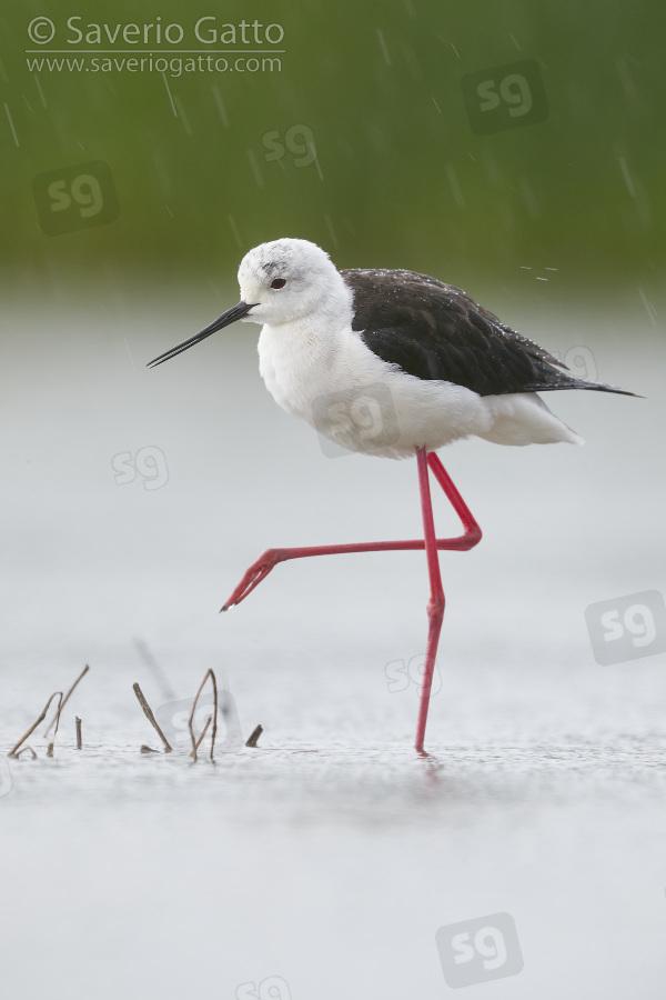 Cavaliere d'Italia, femmina adulta sotto la pioggia battente